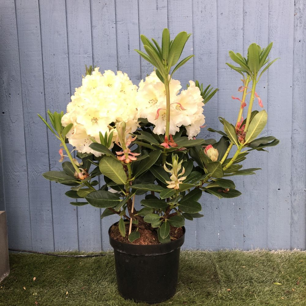 Rhododendron 'Horizon Monarch' 7.5 Ltr - Click and Collect Only