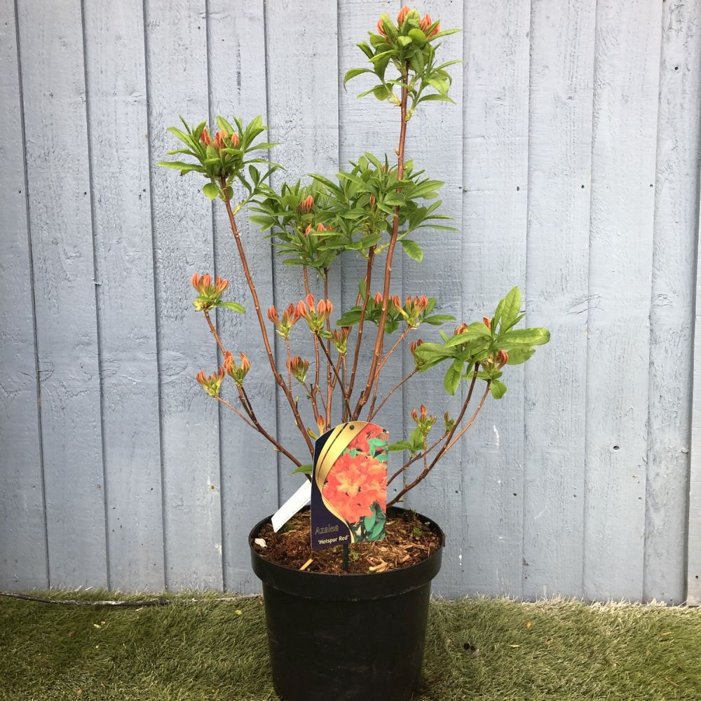Azalea 'Hotspur Red' 7.5 Ltr - Click and Collect Only