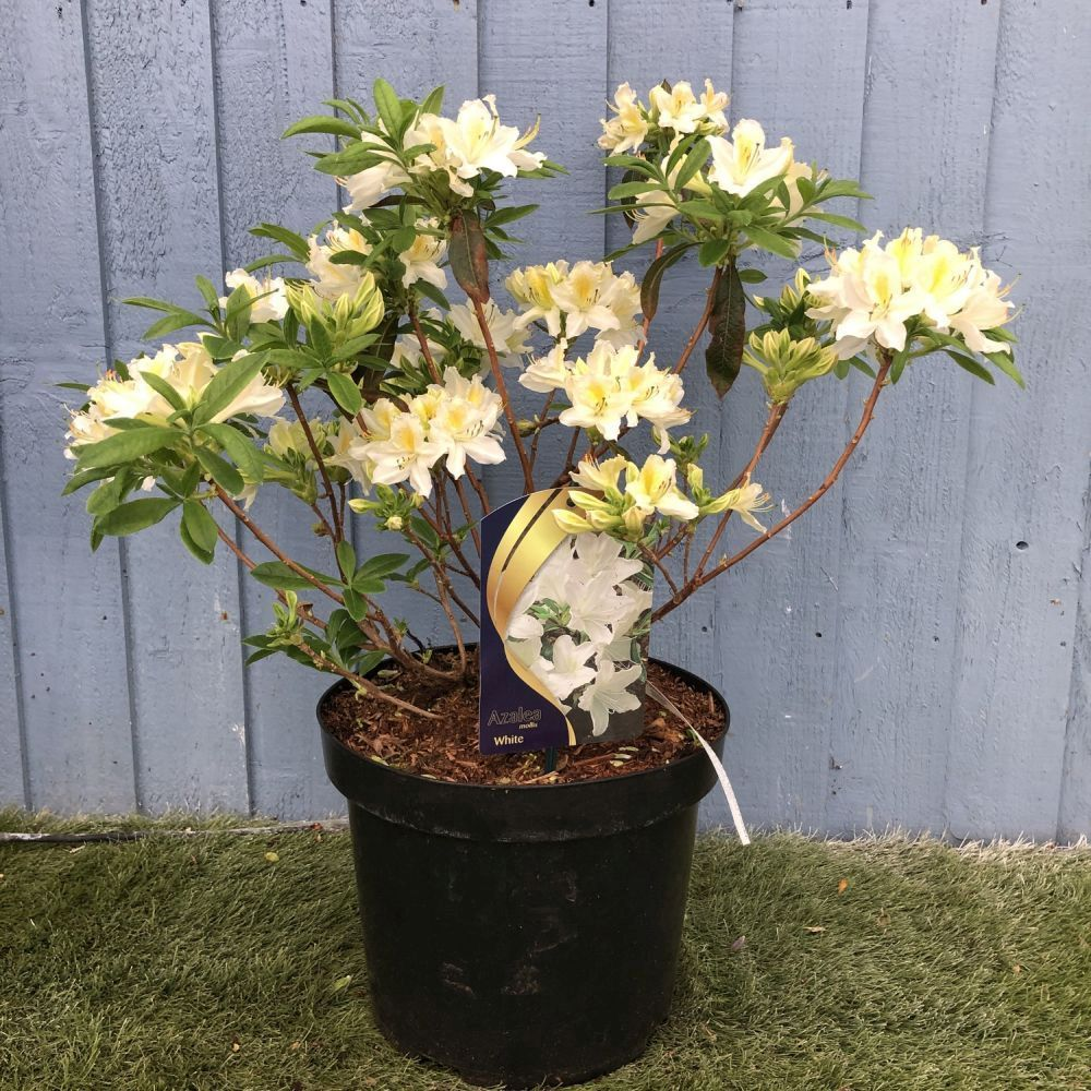Azalea mollis 'White' 7.5 Ltr - Click and Collect Only