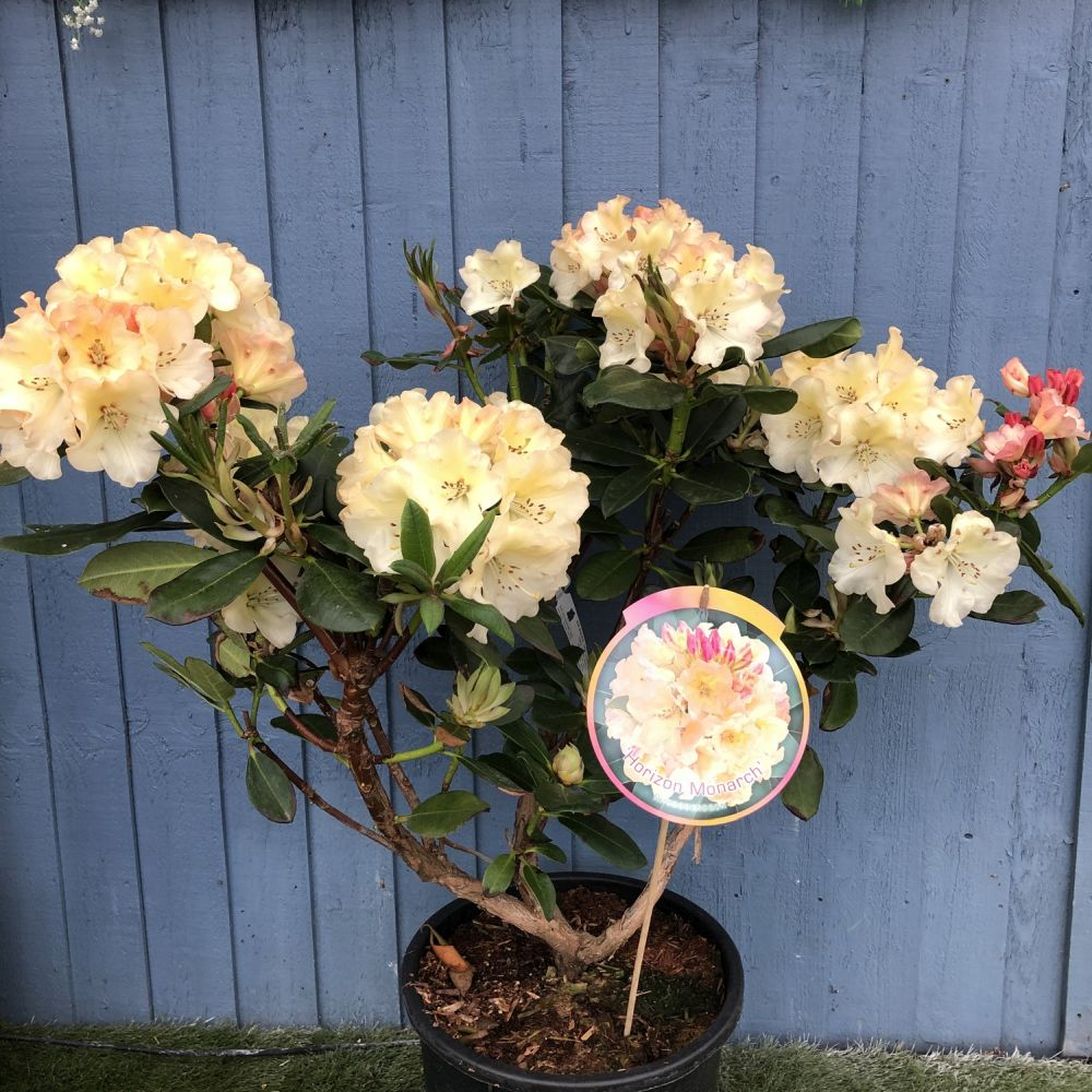 Rhododendron 'Horizon Monarch' 15 Ltr Pot