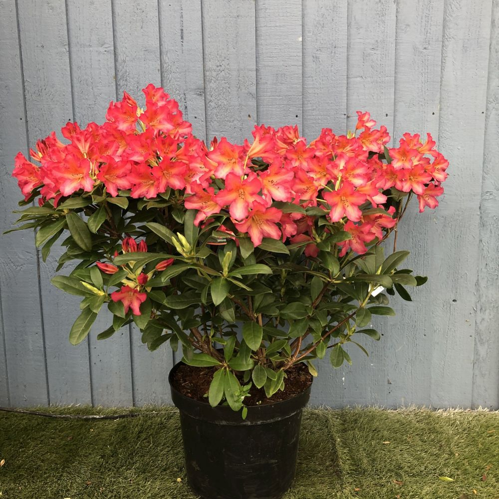 Rhododendron 'Scyphocalix' 7.5 Ltr - Click and Collect Only