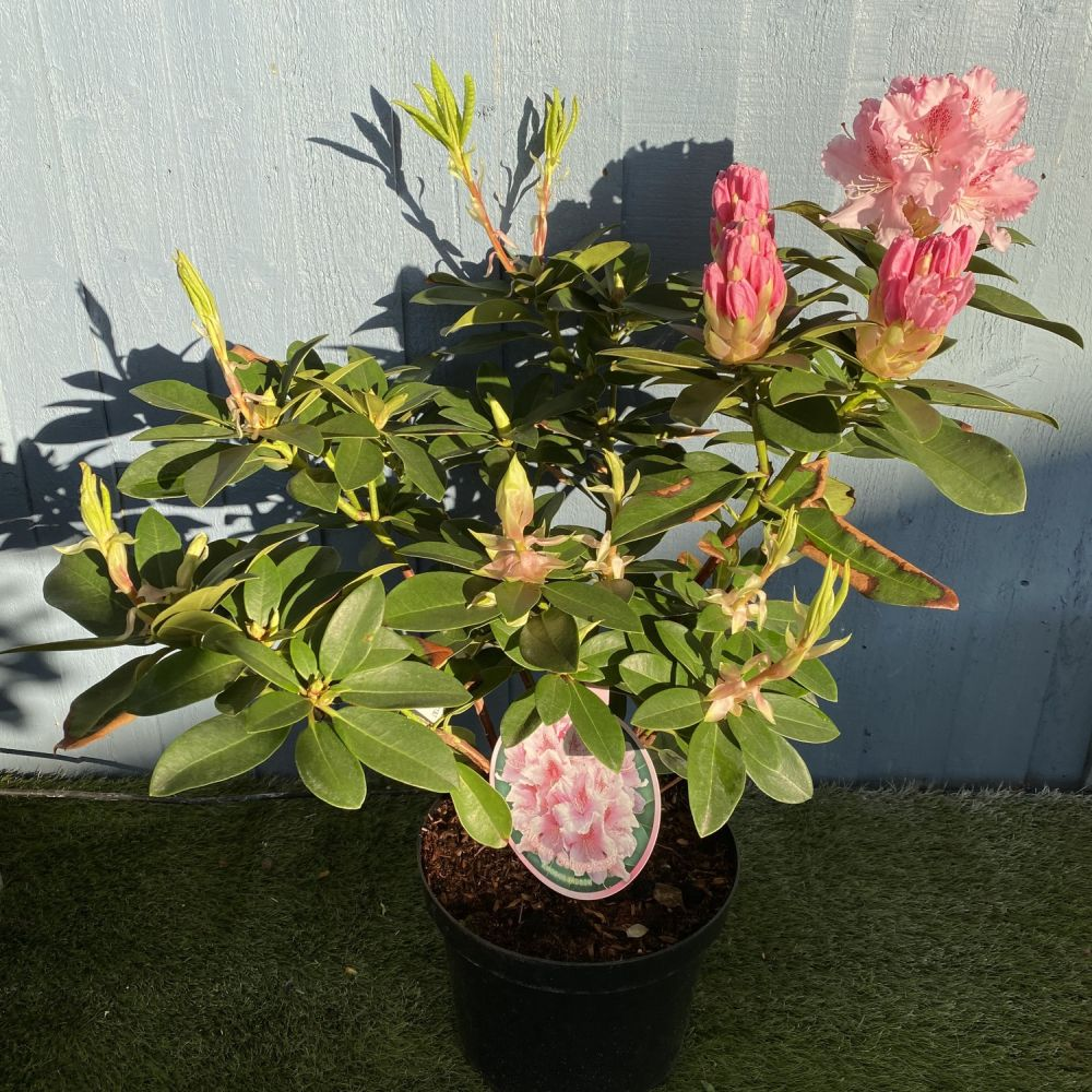Rhododendron 'Albert Schweitzer' 7.5ltr Pot - Click and Collect Only