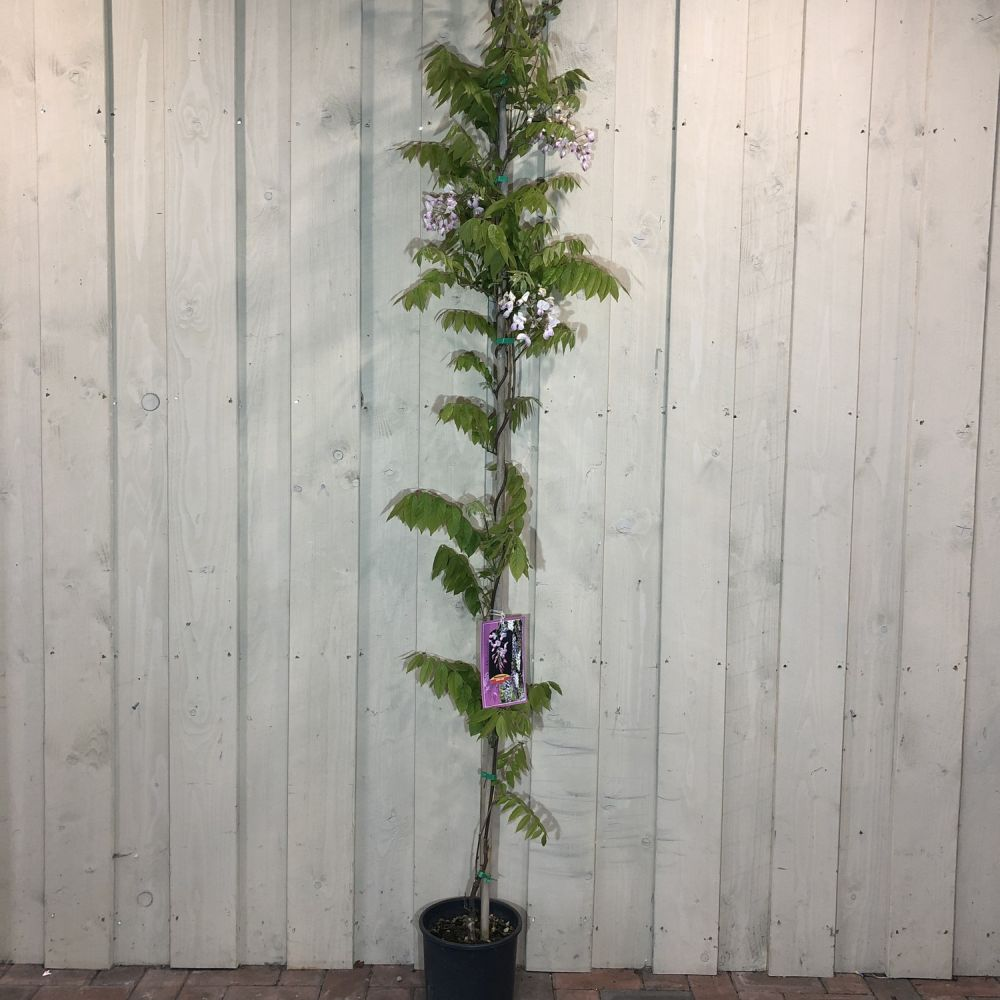 Wisteria 'Showa Beni' 5 Ltr Pot