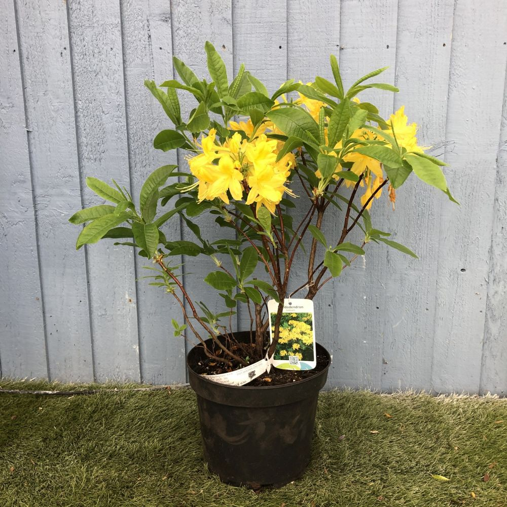 Rhododendron (Azalea) luteum 7.5 Ltr - Click and Collect Only