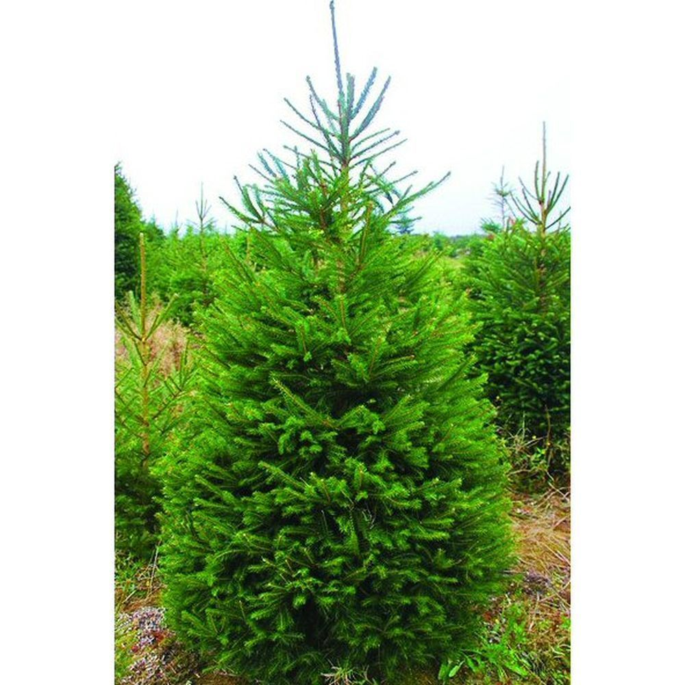 Norway Spruce 3-5ft Fresh Cut Christmas Tree