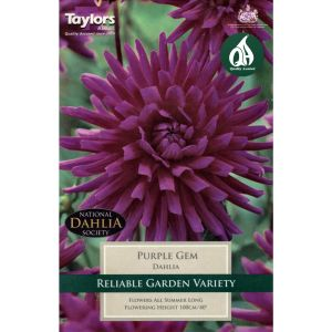 Taylors 1 Dahlia Purple Gem Summer Flowering Tuber