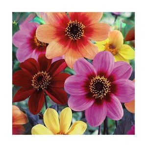 Taylors 3 Dahlia Happy Singles Fusion Summer Flowering Bulbs