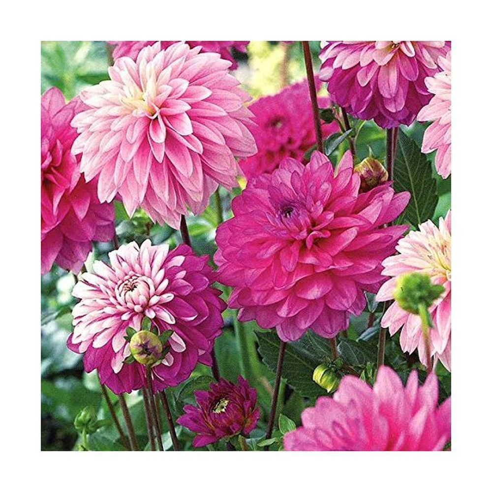 Taylors 3 Dahlia Pink Fusion Collection Summer Flowering Tubers