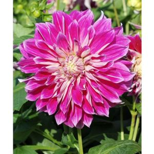 Taylors 1 Dahlia Purple Explosion Summer Flowering Bulb