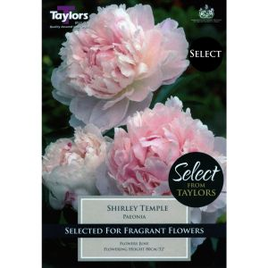 Taylors 1 Shirley Temple Paeonia Bulb