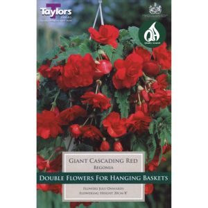 Taylors 3 Begonia Giant Red Pendula Summer Flowering Tubers