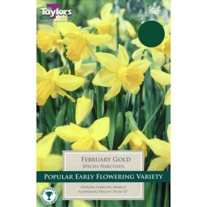 Taylors 6 February Gold Narcissus Daffodil Bulbs