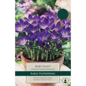 Taylors 20 Ruby Giant Crocus Bulbs