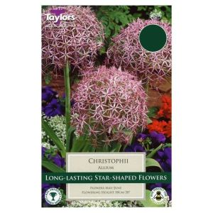 Taylors 5 Christophii Allium Bulbs