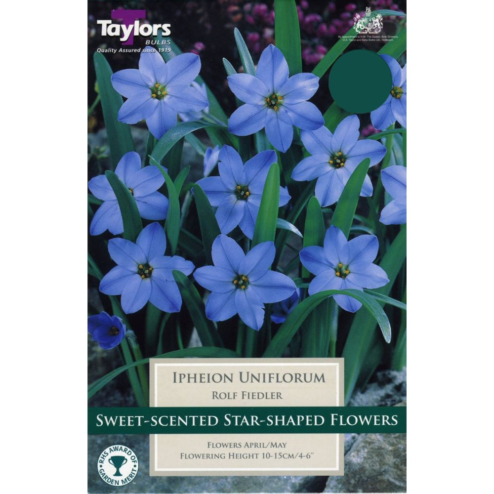 Taylors 10 Ipheion Uniflorum Rolf Fiedler Bulbs