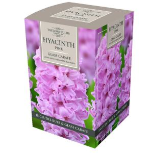 Taylors 1 Pink Hyacinth Bulb with Glass Carafe Living Gift Set