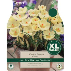 Taylors 40 Cream Beauty Crocus Bulbs - XL Value