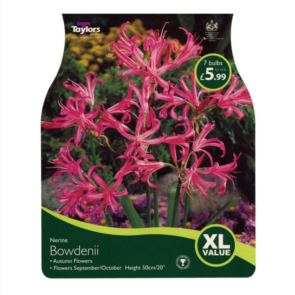 Taylors 6 Nerine Bowdenii Autumn Flowering Bulbs