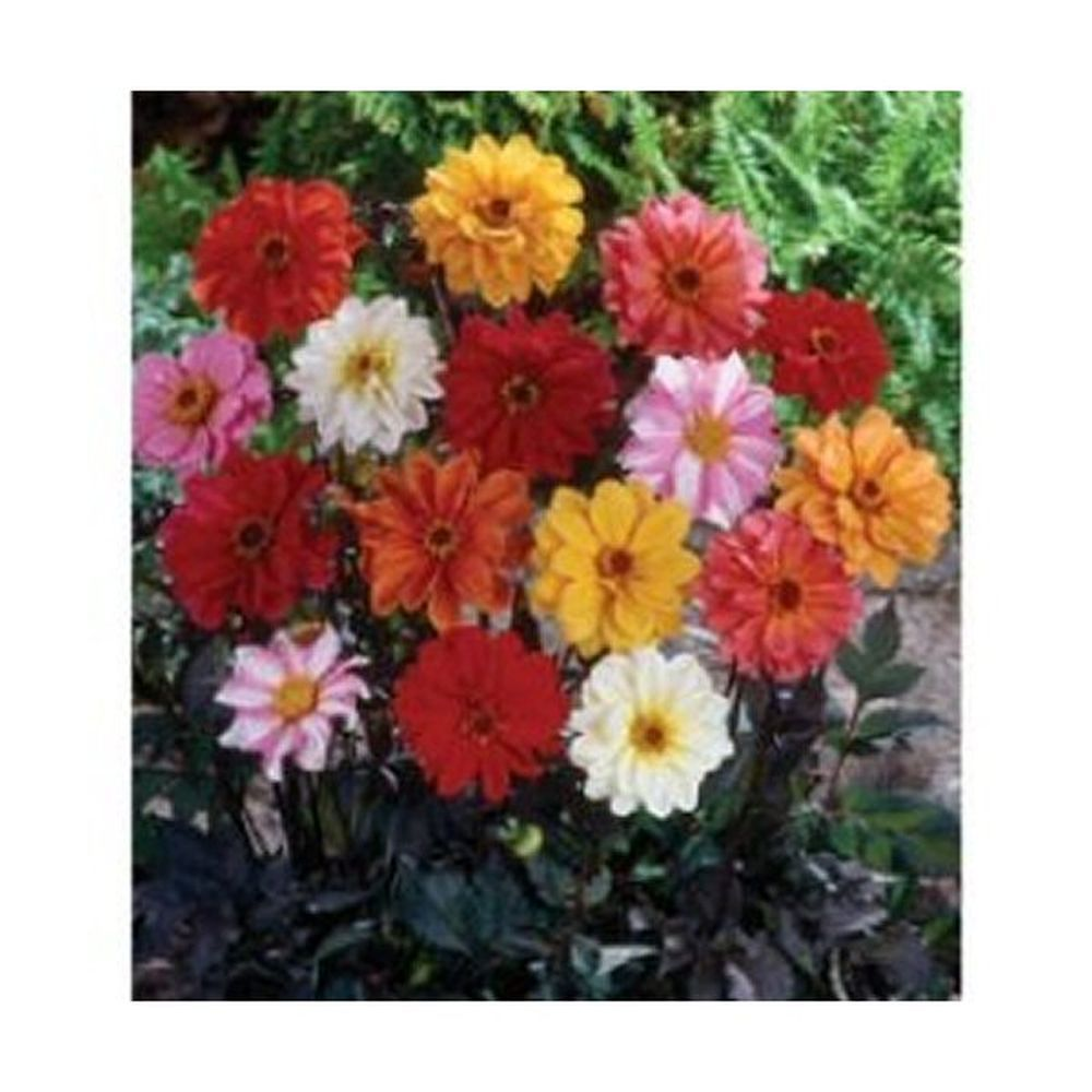 Taylors 6 Red Skin Dwarf Mixed Dahlia Tubers