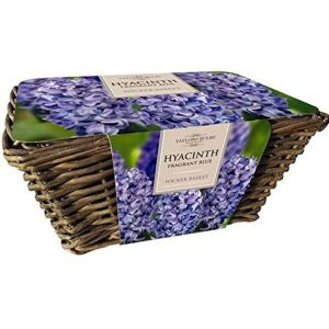 Taylors Large Wicker Basket with 6 Blue Fragrant Hyacinth Bulbs
