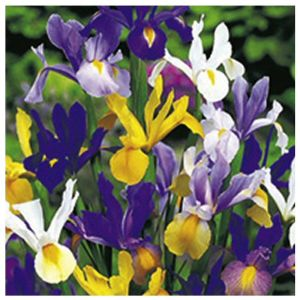 Taylors 45 Dwarf Iris Mixed Colours Bulbs