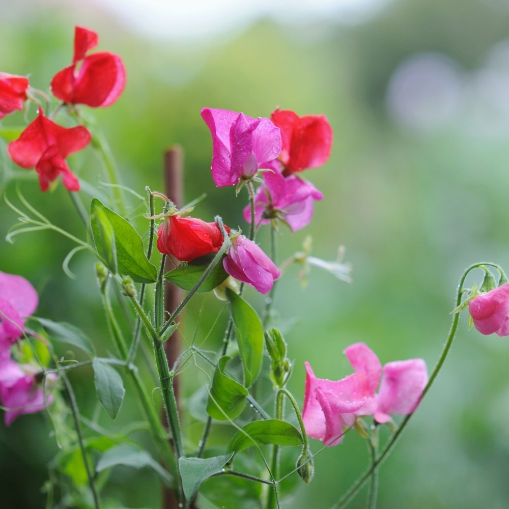 Sweet Pea Mixed 9cm Pot - Click and Collect Only