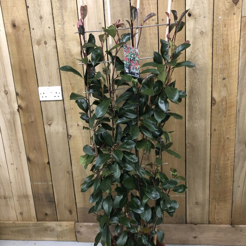Photinia 'Red Robin' 20 Ltr