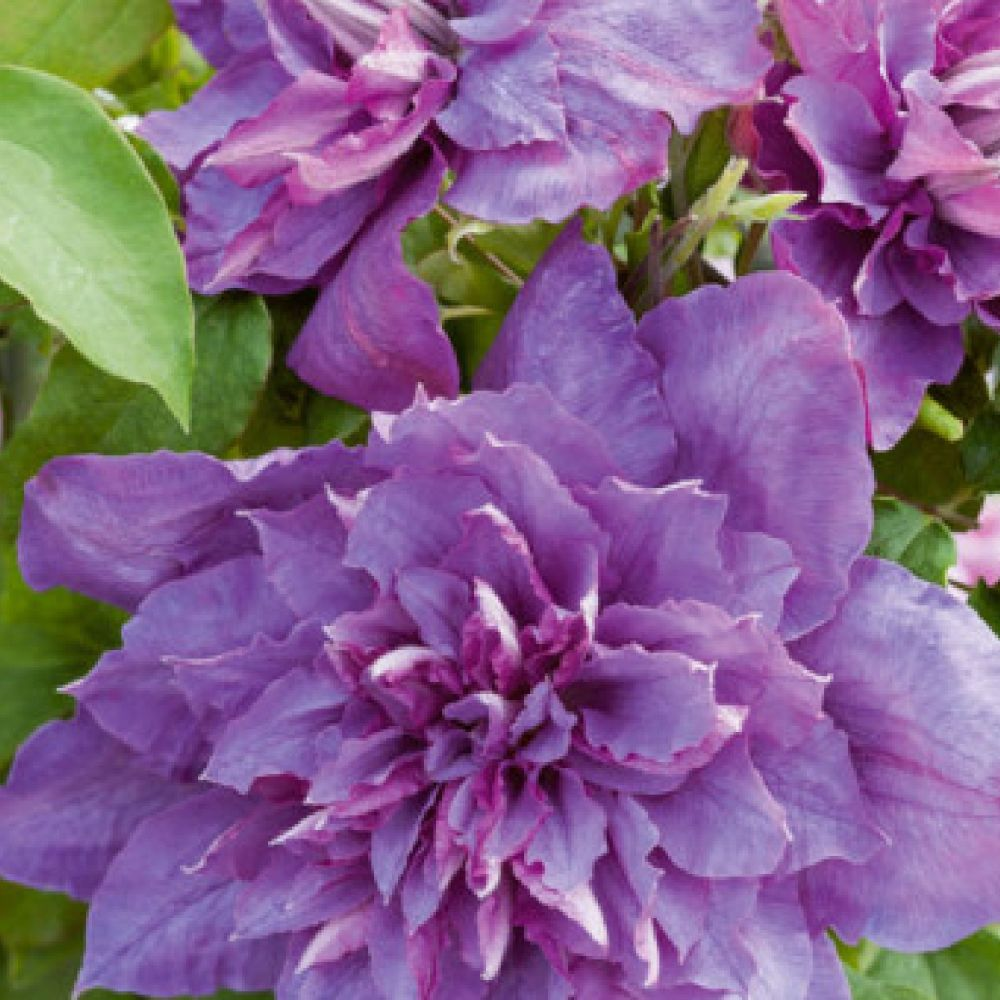 Clematis 'Vyvyan Pennell' 3 Ltr