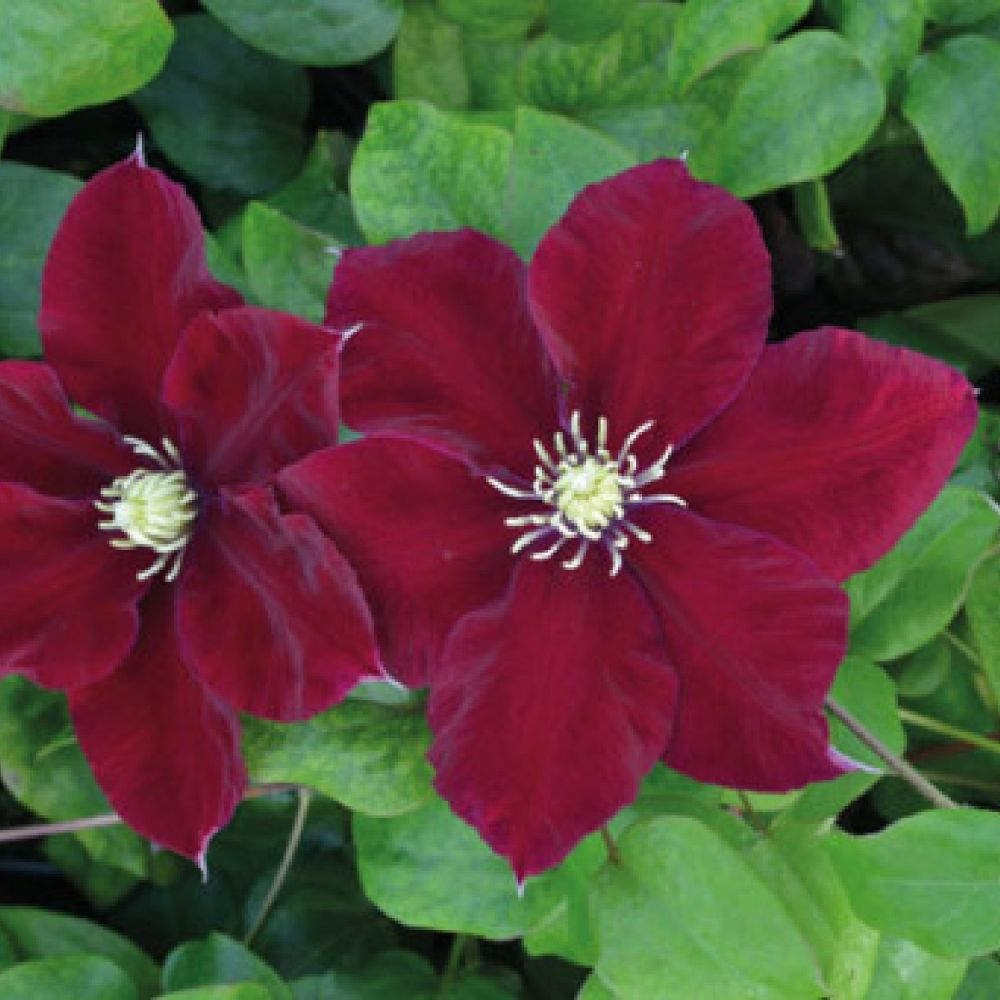 Clematis 'Charmaine' 3 Ltr