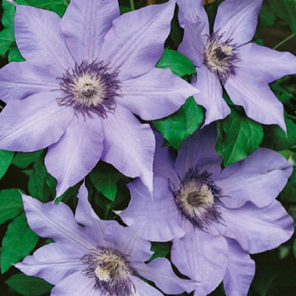 Clematis 'The First Lady' 3 Ltr