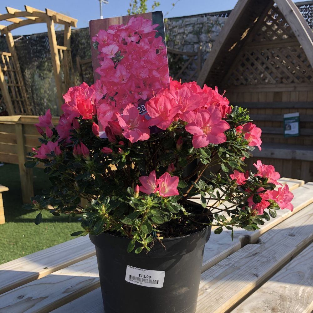 Azalea Assorted - Click and Collect Only