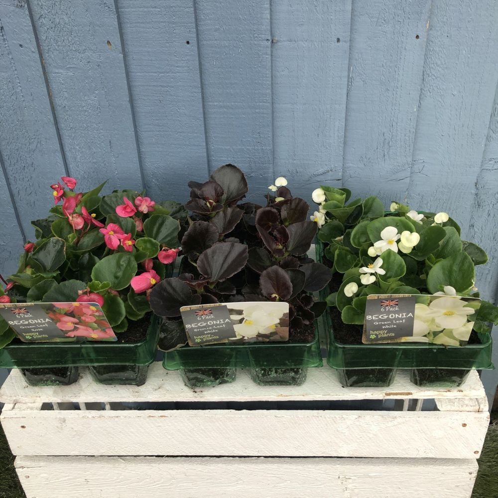 Begonia Semperflorens Pack 6 - Click and Collect Only