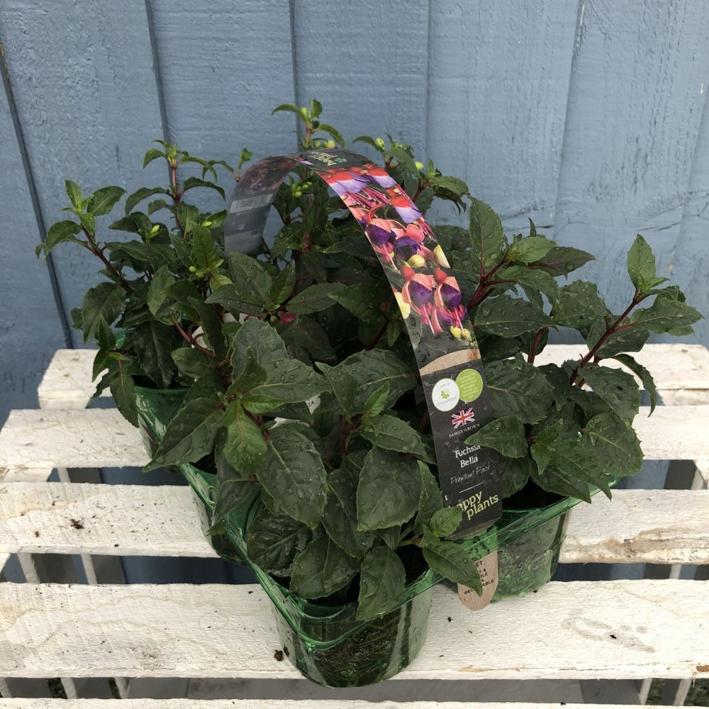 Fuchsia Bush Premium Pack 6 - Click and Collect Only