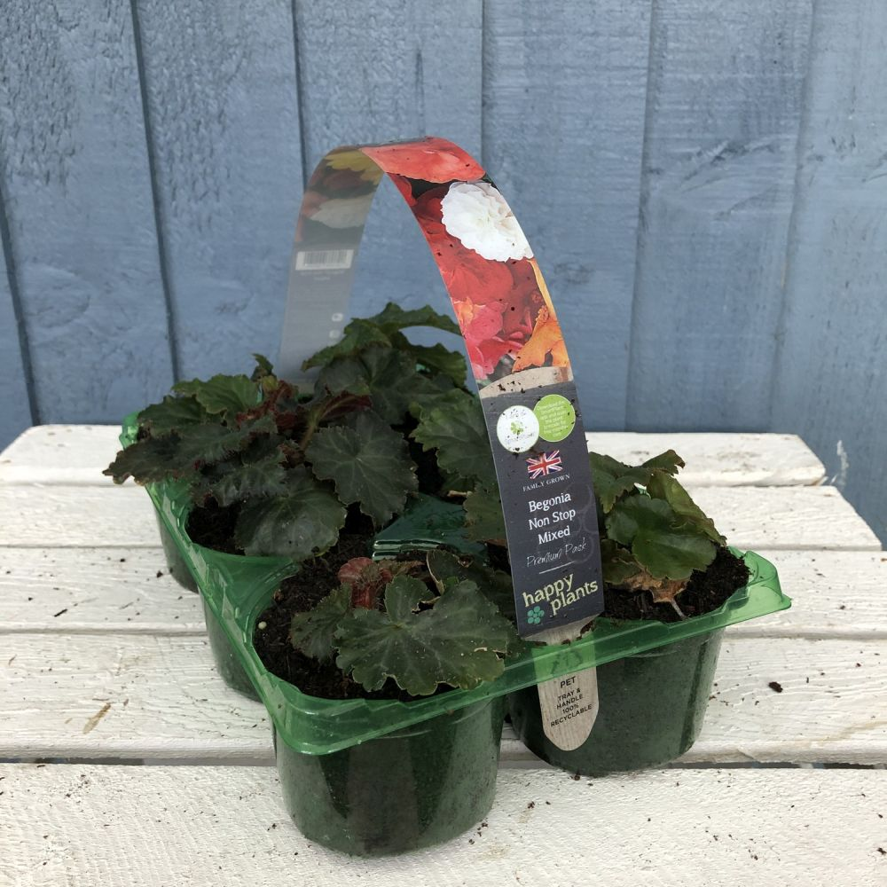 Begonia Non-Stop Premium Six Pack - Click and Collect Only