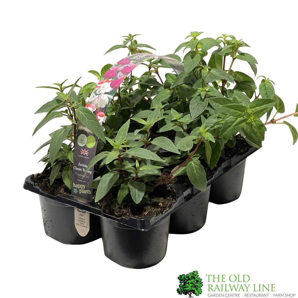 Fuchsia Trailing Premium Pack 6 - Click and Collect Only
