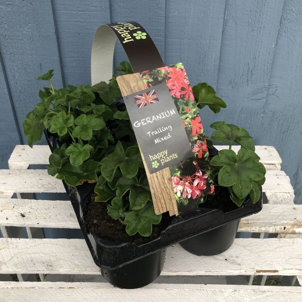 Geraniums Trailing Premium Pack 6 - Click and Collect Only