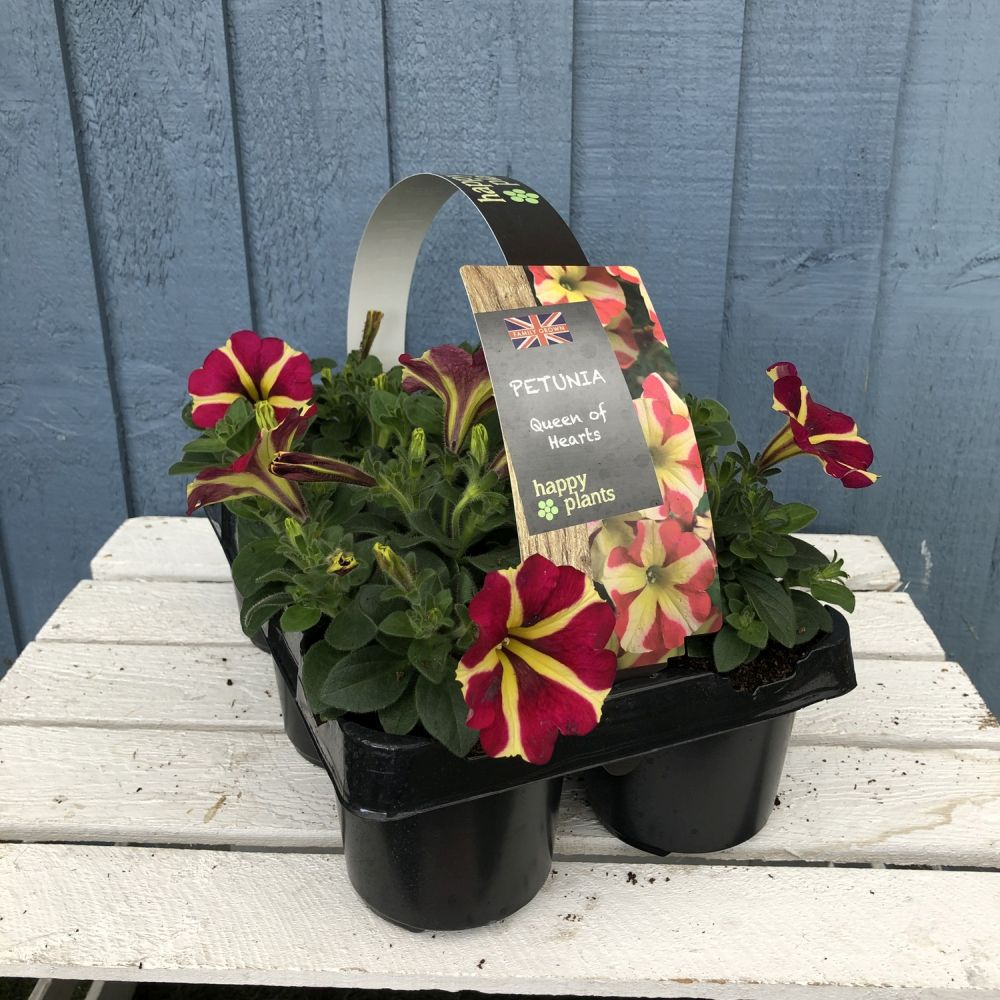 Petunia 'Queen of Hearts' Premium Six Pack - Click and Collect Only