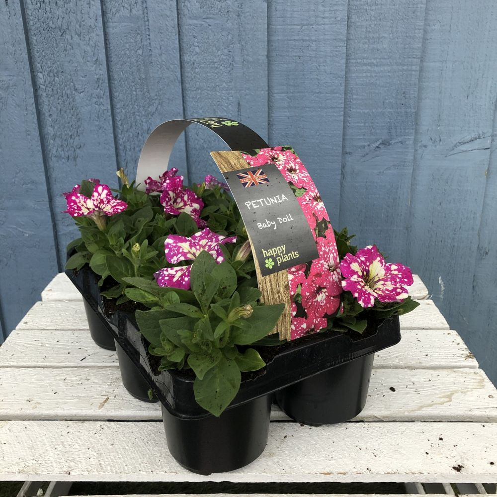 Petunia 'Baby Doll' Premium Six Pack - Click and Collect Only