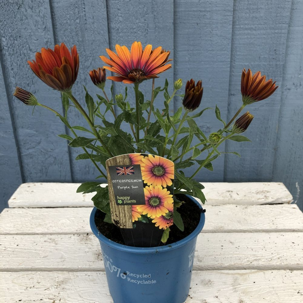 Osteospermum 'Purple Sun' - Click and Collect Only