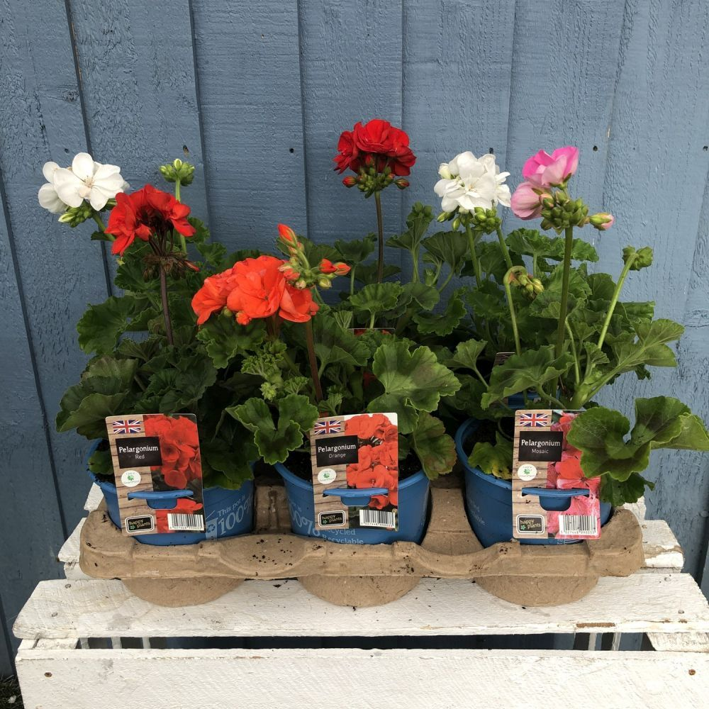 Geranium Upright 1 Litre Pot - Click and Collect Only