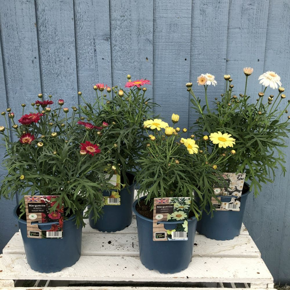 Marguerite Assorted 1 Litre Pot - Click and Collect Only