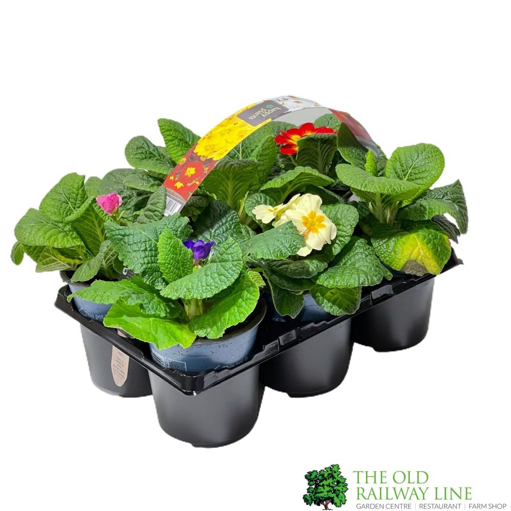 Primrose Plant Assorted Six Pack