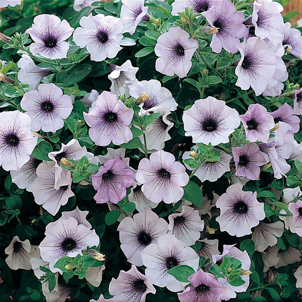 Kindergarden Petunia Surfinia Blue Vein Bedding Plug Plant