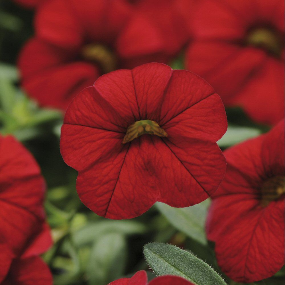 Kindergarden Calibrachoa Cabaret Bright Red Bedding Plug Plant