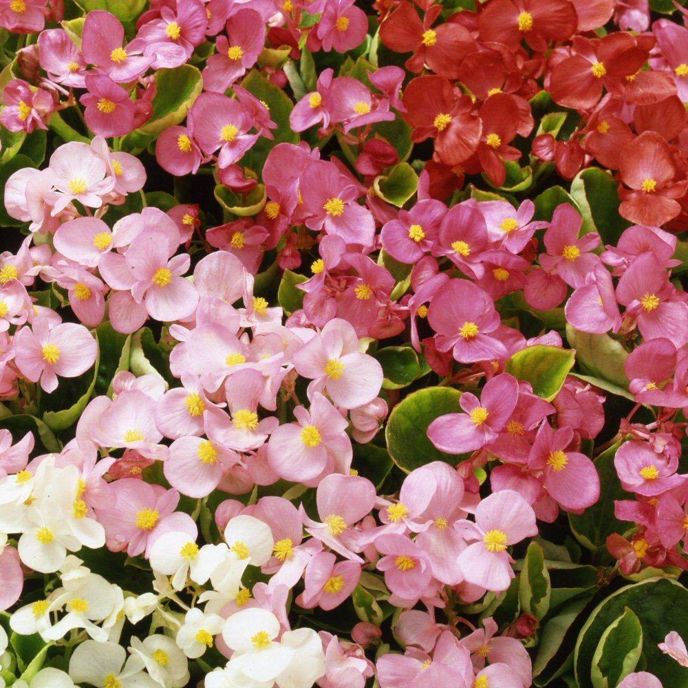 Kindergarden 20 Cell Begonia Heavens Delight Mixed Bedding Plug Plant