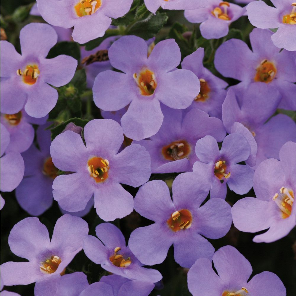 Kindergarden Bacopa Abunda Colossol Blue Bedding Pulg Plant