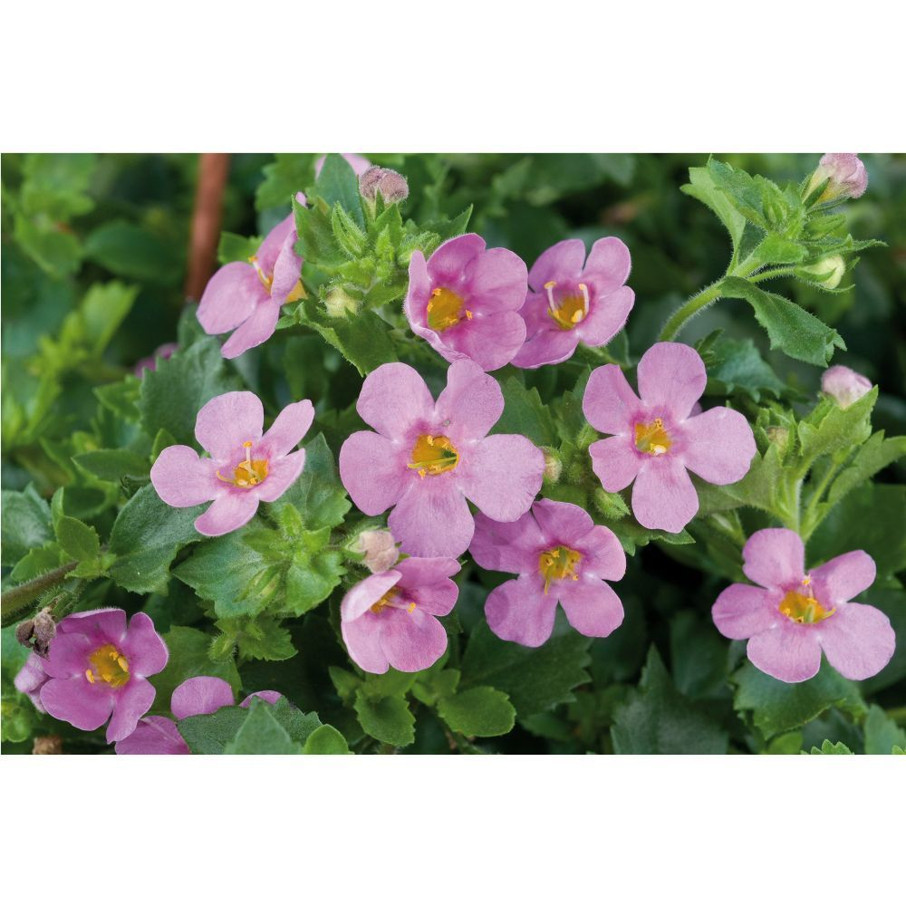 Kindergarden Bacopa Scopia Great Pink Beauty Bedding Plug Plant