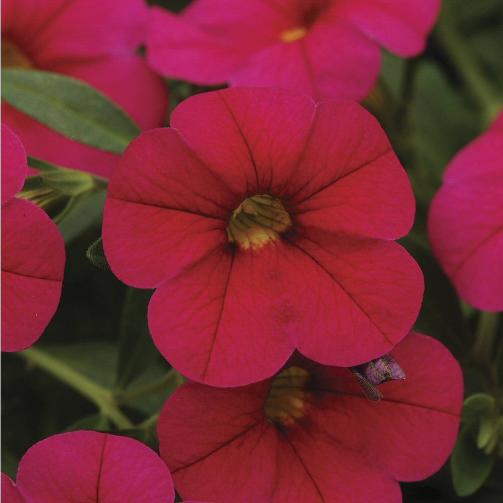 Kindergarden Calibrachoa Cabaret Cherry Rose Bedding Plug Plant