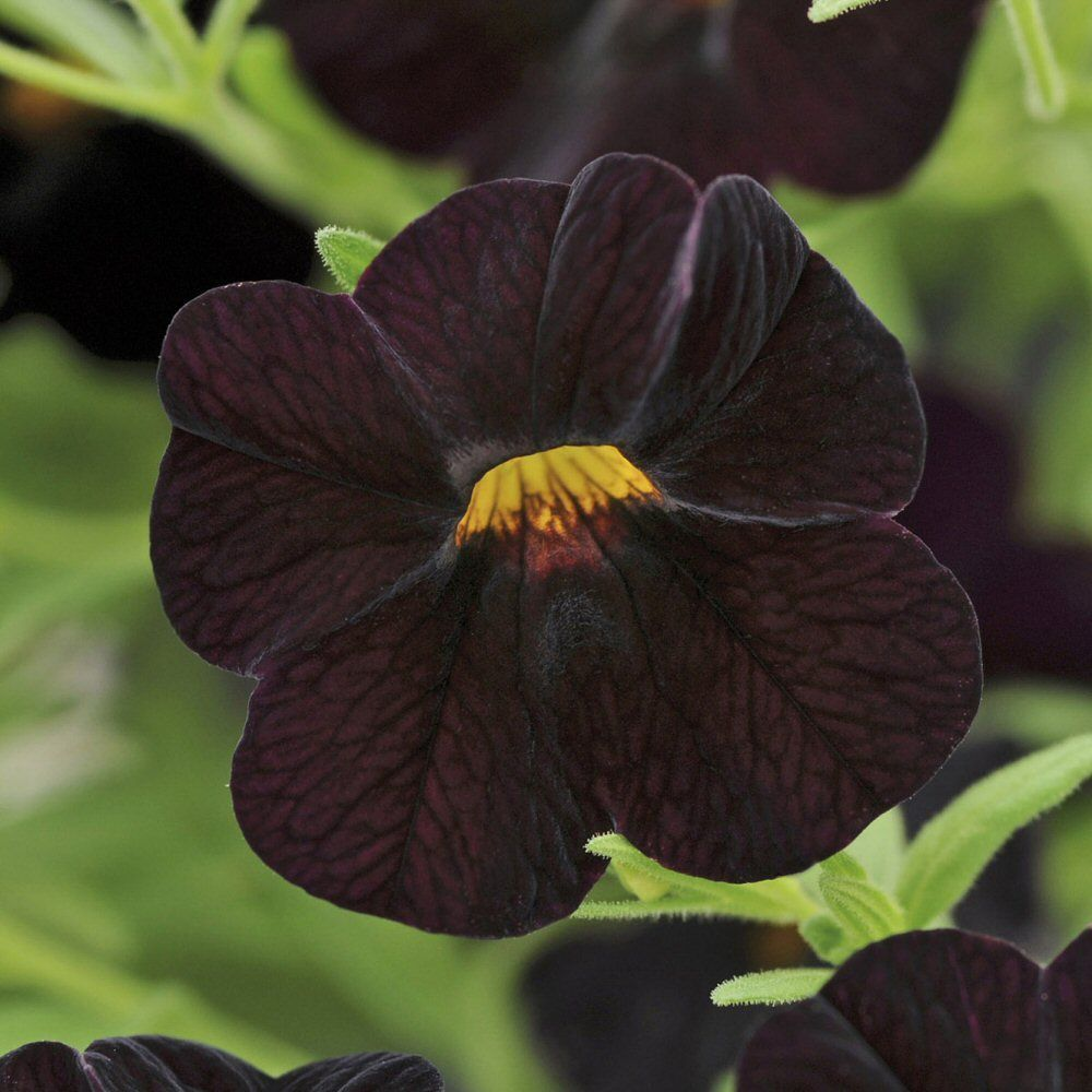 Kindergarden Calibrachoa Can Can Black Cherry Bedding Plug Plant