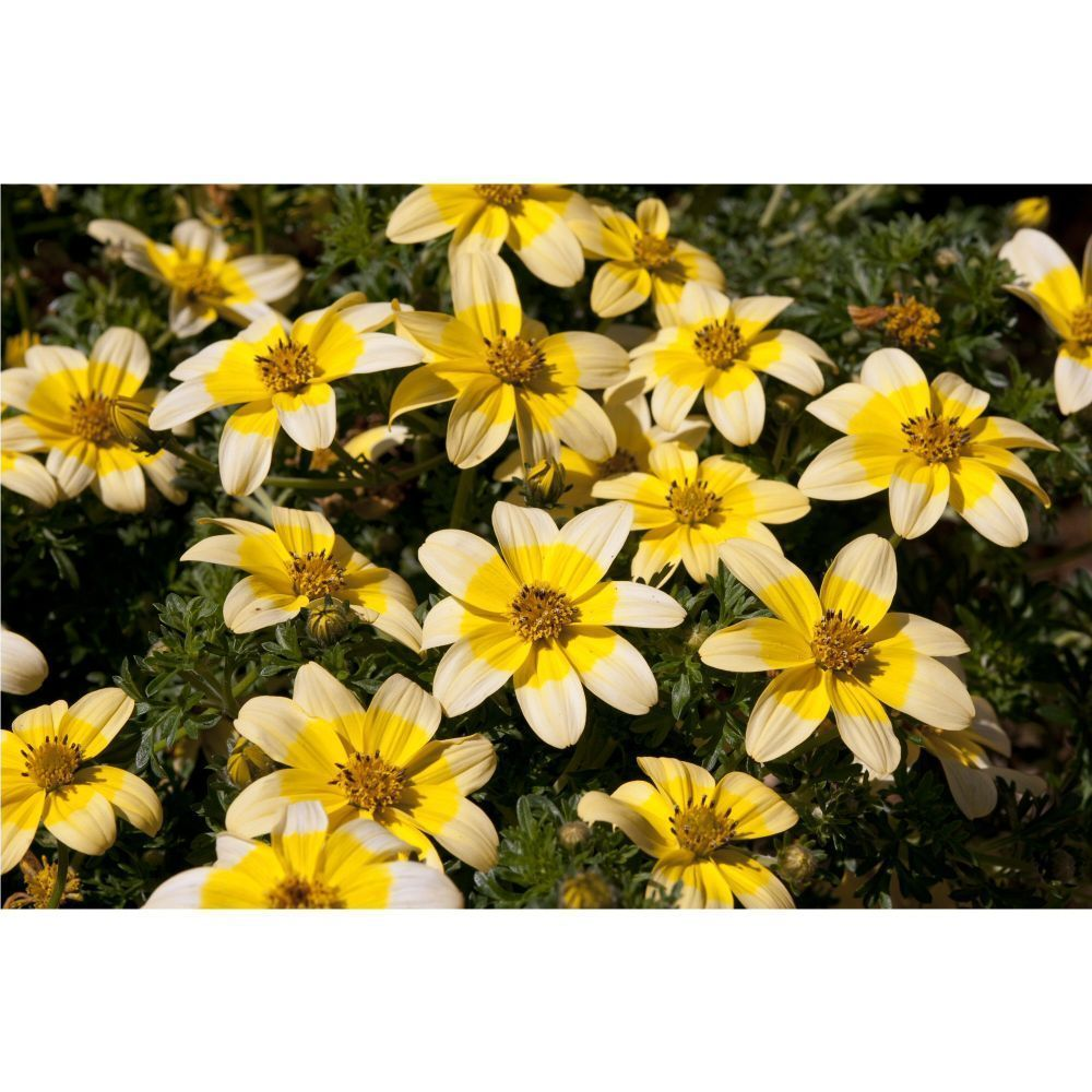 Kindergarden Bidens Golden Eye Bedding Plug Plant